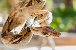 Boa snake. Closeup boa constrictor, horizontal takes Stock Images