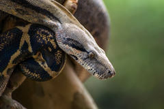 Boa snake. The boa constrictor Boa constrictor, also called red-tailed boa, is a species of large, heavy-bodied snake royalty free stock photos