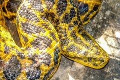 Boa snake. Boa constrictor snake in south america royalty free stock photos