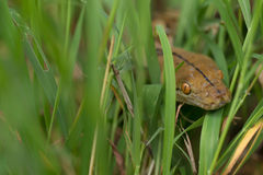 Boa Snake in the grass, Boa constrictor snake on tree branch Royalty Free Stock Photo