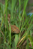 Boa Snake in the grass, Boa constrictor snake on tree branch Royalty Free Stock Image