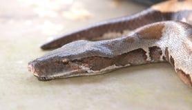 Boa snake, python Stock Image