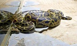 Boa snake python vertebrate scales terrarium Stock Images