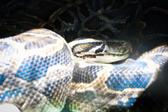Boa snake relaxing between light and shadow Stock Images