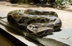 Boa snake vertebrate scales the tropics viviparous Royalty Free Stock Image
