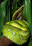 Boa verde smeraldo Fotografia Stock