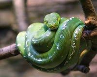 Boa verde smeraldo dell'albero Fotografia Stock