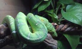 Boa verde smeraldo 4 dell'albero Fotografia Stock Libera da Diritti