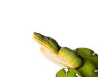 Boa vert d'arbre d'isolement sur le fond blanc Photos libres de droits