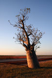 boab日落结构树 图库摄影