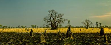 Boab树在金伯利澳大利亚西部 免版税库存照片