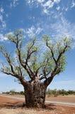 Boab树-金伯利-澳大利亚 库存照片