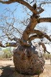 Boab监狱树-金伯利-澳大利亚 库存照片