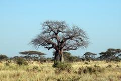 Tarangire boab boab. Boab boab tree in the tarangire national park in tanzania Stock Images