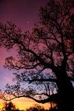 Boab dreams. Boab tree, sunset,Kimberly, Australia stock images