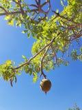 Boab drzewa dokrętka Obrazy Royalty Free