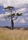 boab drzewo Zdjęcia Stock