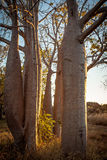 Boab Grove, Kimberley, Australia. The Kimberley is home to the Boab Tree. They make a facinating subject from the smooth rounded bottle like trunks of the stock images