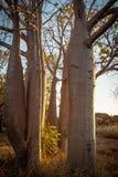Boab Grove, Kimberley, Australien Stockbilder