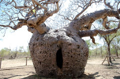 Boab prison tree - Australia. Thick baobab used in late 19th century to lockup aboriginals on their way for sentencing royalty free stock photos