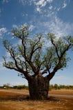 Boab träd - Australien Royaltyfri Foto