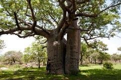 Boab träd - Australien Arkivfoton