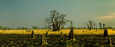 Boab träd på Kimberleyen västra Australien Royaltyfri Foto