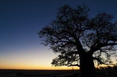 Boab trädsolnedgång Fotografering för Bildbyråer