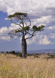 Boab tree. A boab tree in Outback Queensland, Australia Stock Photos
