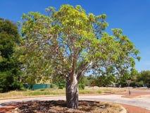 Boab tree Arkivfoto