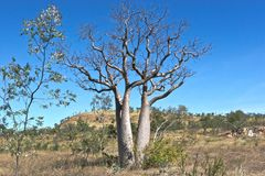 Boab tree Royalty Free Stock Photography