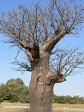 Boab tree with bee hive Stock Images