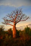 Boab tree, Kimberly, Australia. Boab tree, sunset,Kimberly, Australia Royalty Free Stock Image