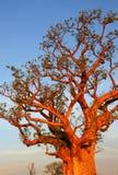 Boab tree, Kimberly, Australia. Boab tree, Kimberly, Western Australia stock images