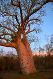 Boab tree, Kimberly, Australia. Boab tree, Kimberly, Western Australia royalty free stock image