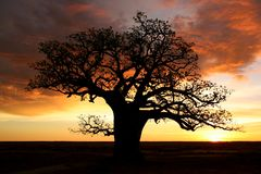 Boab tree, Kimberly, Australia. Boab tree, Kimberly, Western Australia Royalty Free Stock Image
