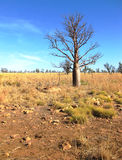 Boab Tree in Outback against Blue Sky Stock Photo