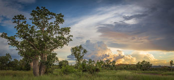 Boab Tree and Stormy Sky in the Kimberley. An boab tree with full foliage in the Wet Season against a stormy sky near sunset in the remote and rugged Kimberley royalty free stock images