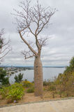 Boab Tree and Swan River View Stock Image