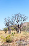 Boab trees in the Pilbara Royalty Free Stock Photo