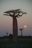 boabab结构树 免版税图库摄影