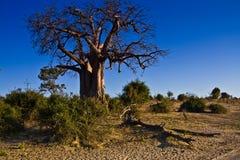 boabab结构树 库存照片