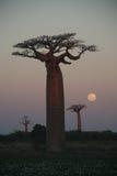 boabab δέντρα Στοκ φωτογραφία με δικαίωμα ελεύθερης χρήσης
