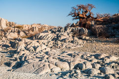 Boabab auf Granit-Felsen Lizenzfreies Stockbild