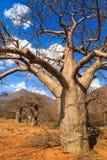 Boabab drzewo w afrykanina krajobrazie Obraz Royalty Free