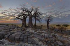 Boabab träd på färgerna av soluppgång fotografering för bildbyråer
