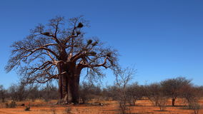 Boabab tree. Lone boabab tree in the northern parts of South Africa, near the Zimbabwean border Stock Photos