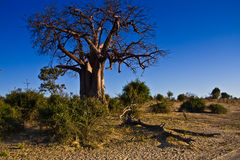Boabab Tree. Old Boabab Tree (adansonia digitata) in Chobe National Park, Botswana Stock Photo