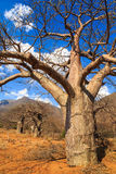Boabab tree in African landscape Royalty Free Stock Image