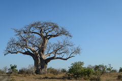 Boabab tree, Kruger Park, South Africa Royalty Free Stock Photography